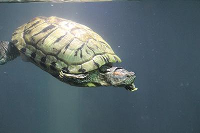 Les tortues aquatiques clinique veterinaire les alois - Bassin pour tortue aquatique villeurbanne ...